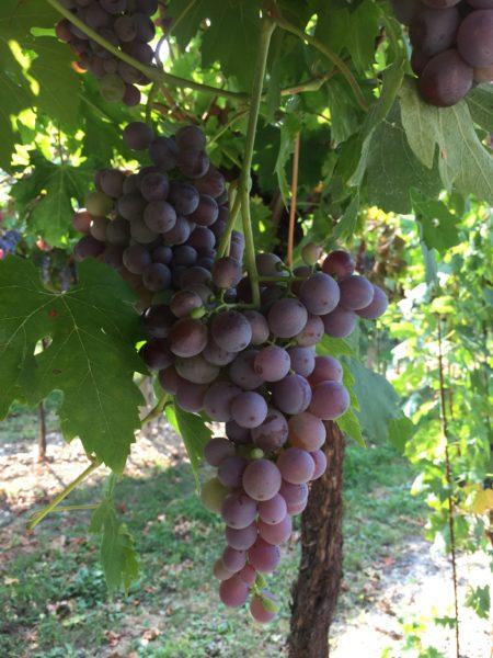 Molinara uva