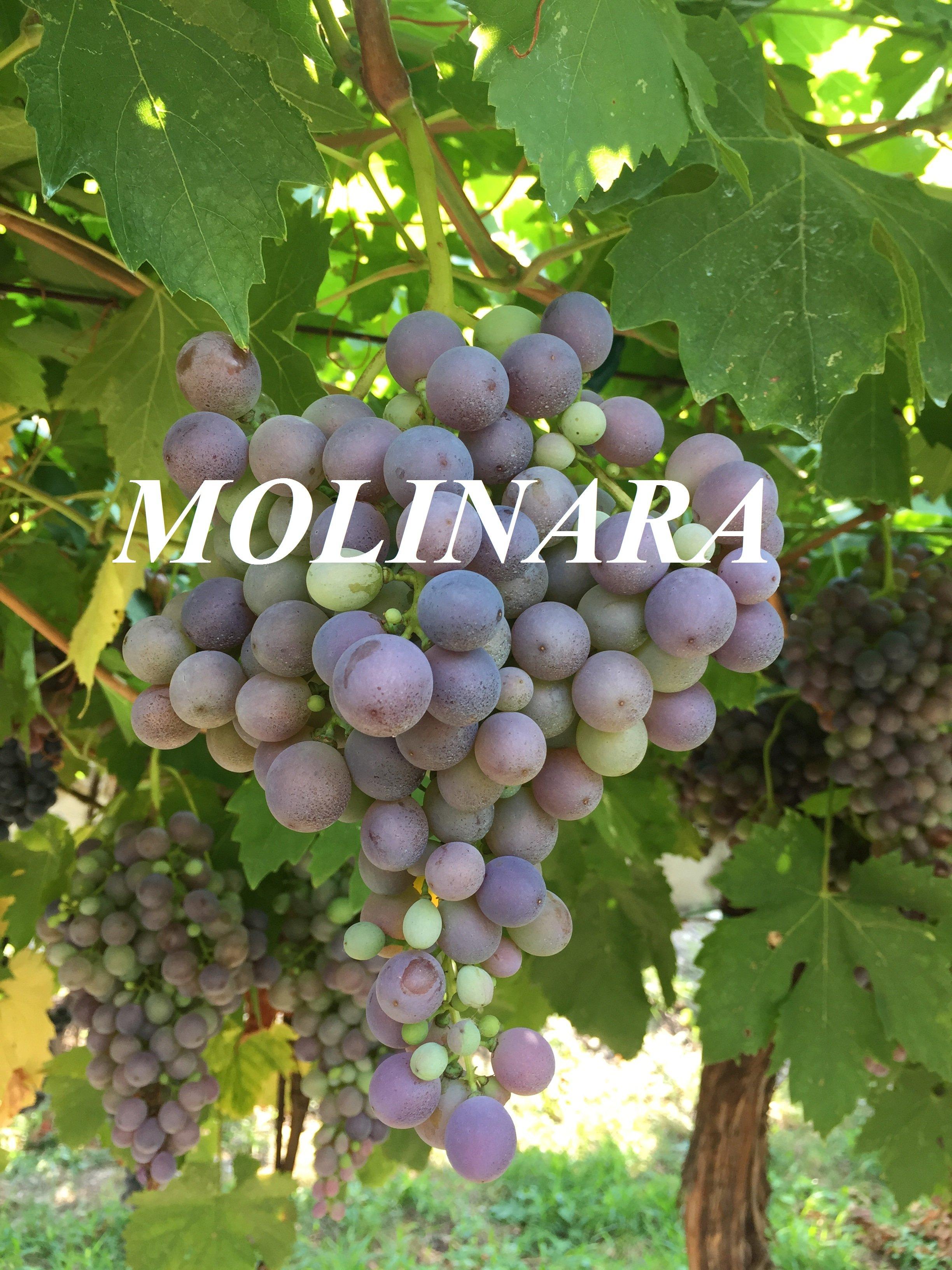 Molinara Grape