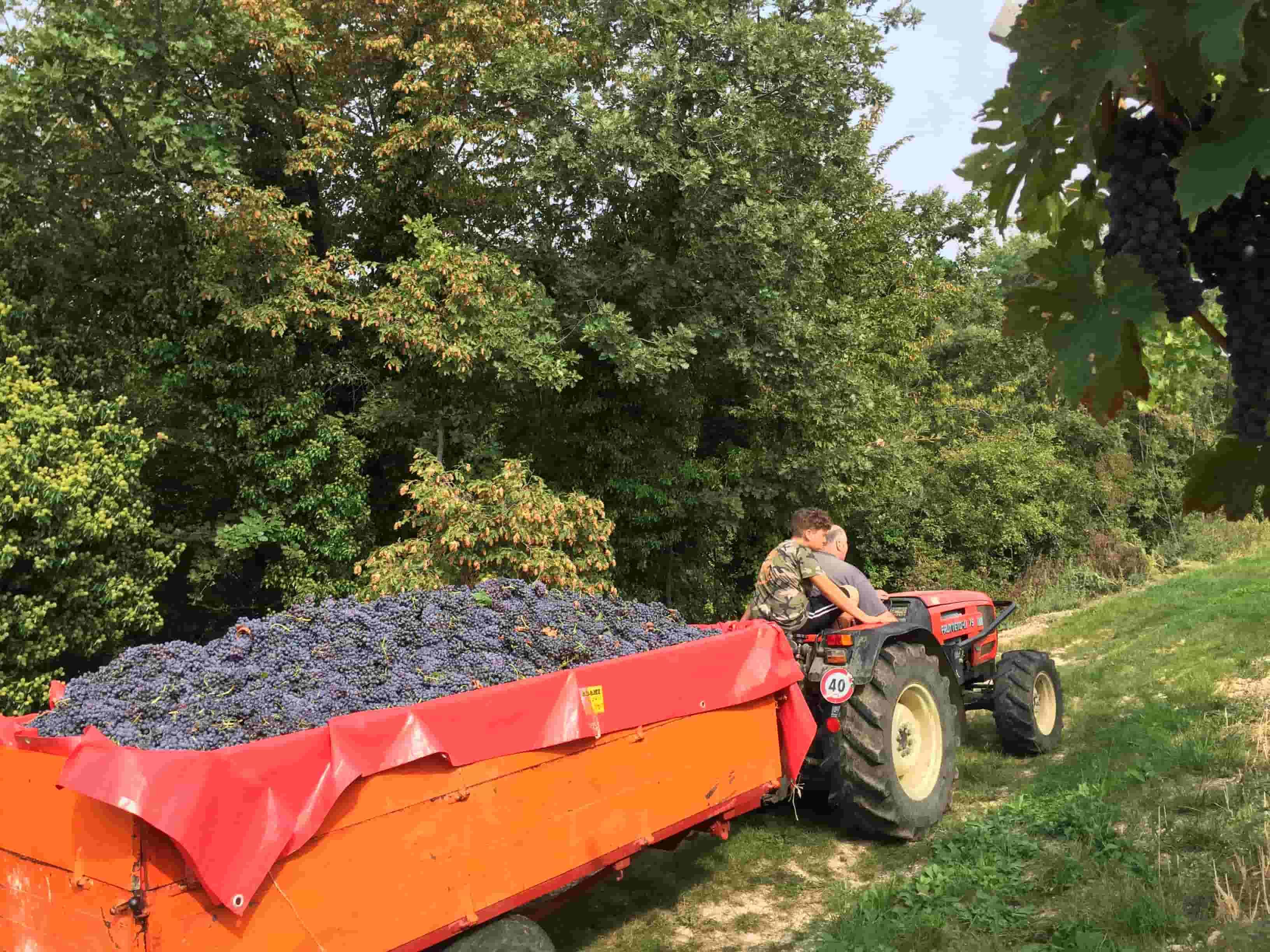 Valpolicella harvest