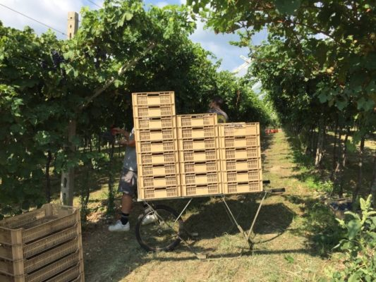 Harvest 2020: grapes manual selection