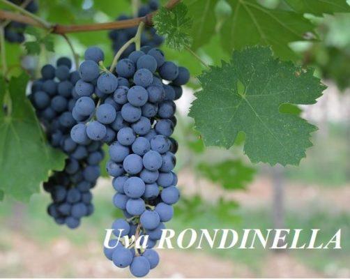 Rondinella grape