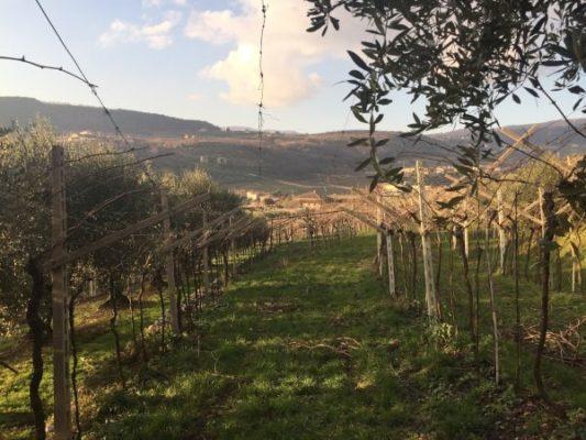 Potatura viti Amarone