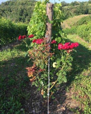 Rose vigna
